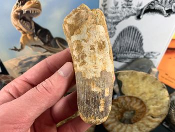 Spinosaurus Tooth - 3.88 inch #SP44