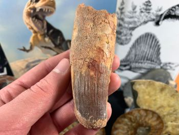 Spinosaurus Tooth - 3.81 inch #SP45