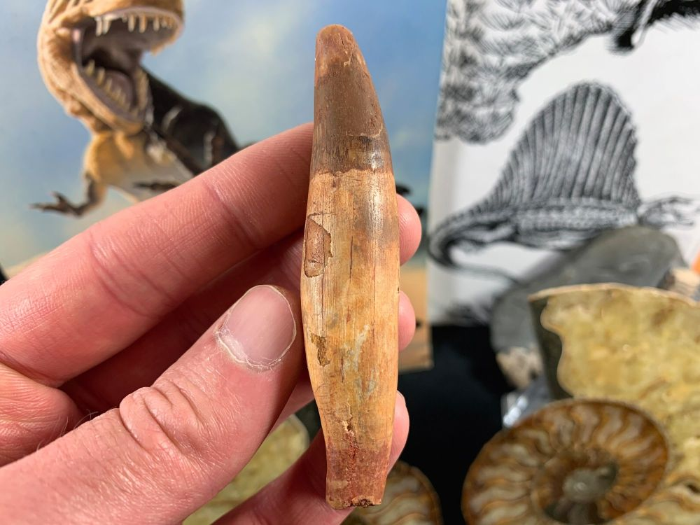 Spinosaurus Tooth with Root - 3.25 inch #SP48