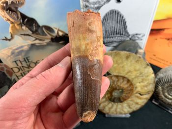 HUGE Spinosaurus Tooth - 4.69 inch #SP53