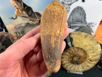 Spinosaurus Tooth - 4.38 inch #SP55