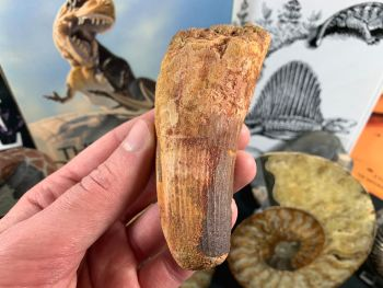 Spinosaurus Tooth - 4.38 inch #SP56