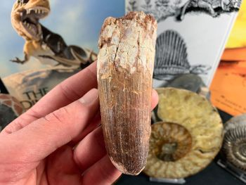 Spinosaurus Tooth - 4 inch #SP58