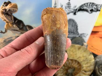Spinosaurus Tooth - 3.5 inch #SP60