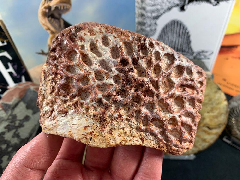 Large Crocodile Scute, 4.5 inch (Morocco) #01