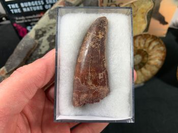 Carcharodontosaurus Tooth - 2.63 inch #CT09