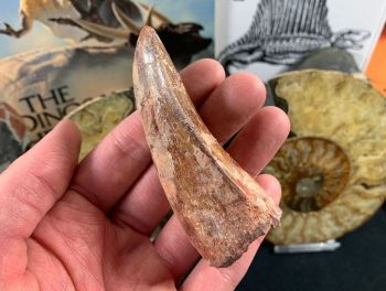 Carcharodontosaurus Tooth - 3.5 inch #CT10