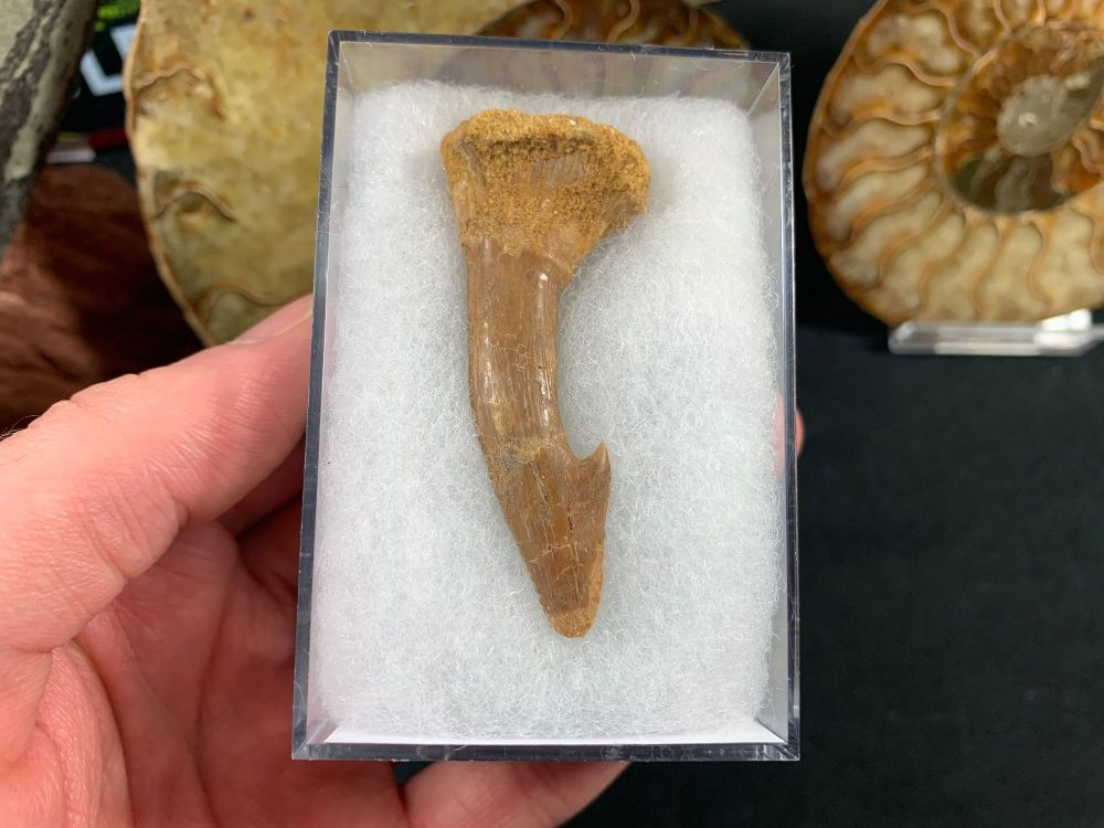 Onchopristis Tooth (2.25 inch) #06