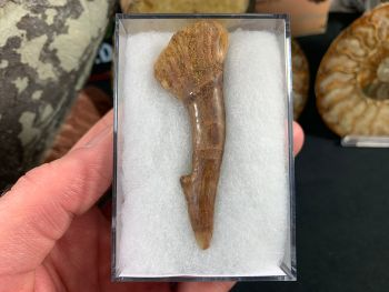 Onchopristis Tooth (2.63 inch) #12