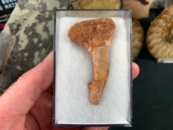 Onchopristis Tooth (2.25 inch) #16