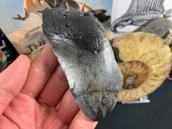 Megalodon Tooth - 4 inch #04