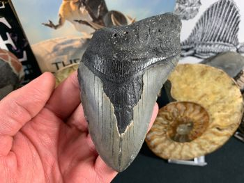 Megalodon Tooth - 4.63 inch #11