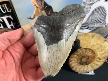 Megalodon Tooth - 5.06 inch #12
