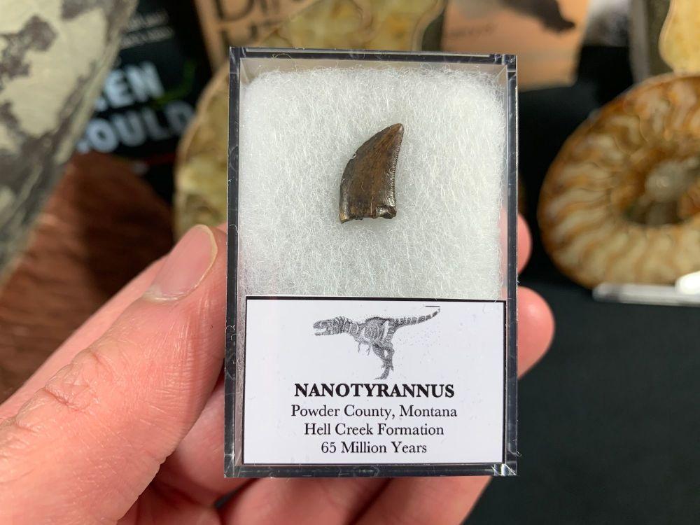 Nanotyrannus Tooth #42
