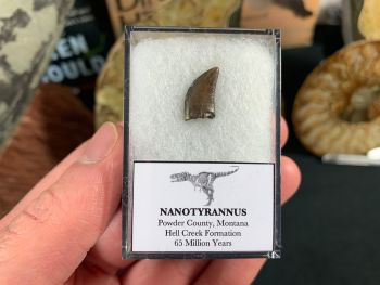 Nanotyrannus Tooth #42