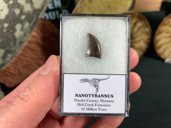 Nanotyrannus Tooth #44