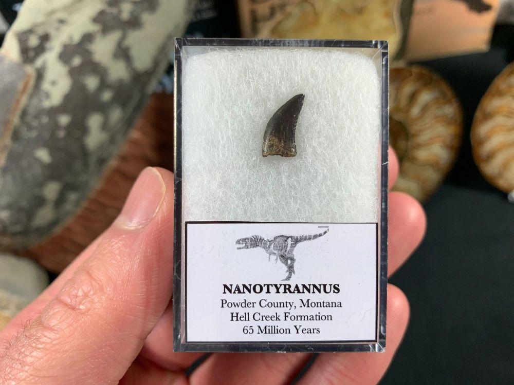 Nanotyrannus Tooth #45