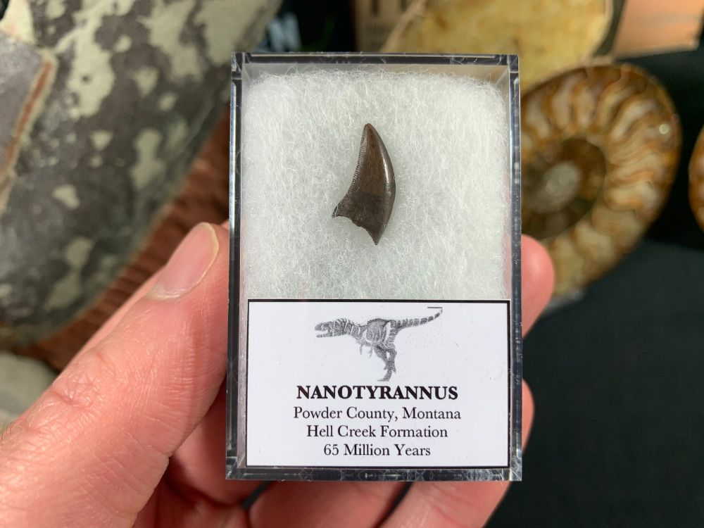 Nanotyrannus Tooth #46
