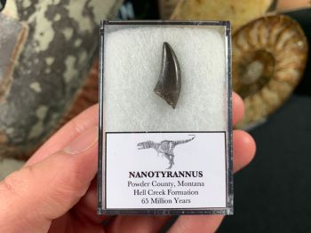 Nanotyrannus Tooth #47