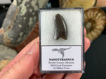 Nanotyrannus Tooth #48