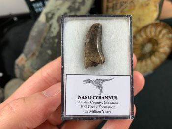 Nanotyrannus Tooth #52
