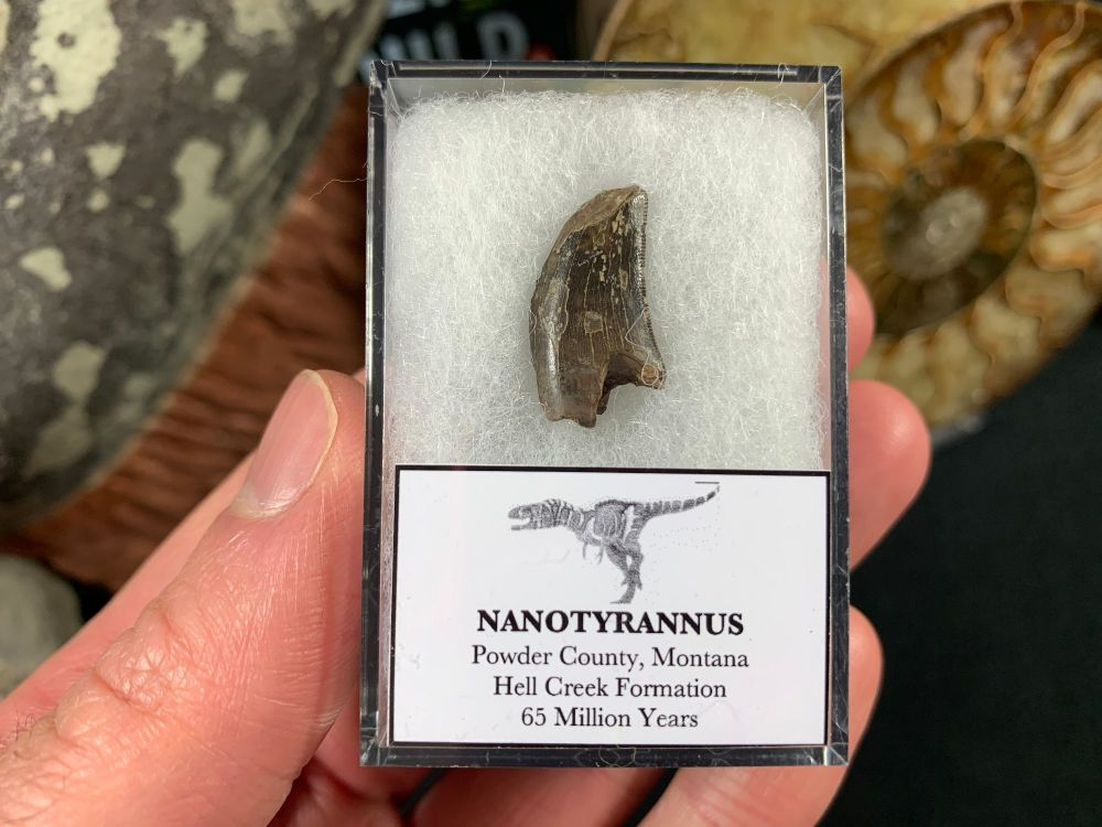 Nanotyrannus Tooth #53