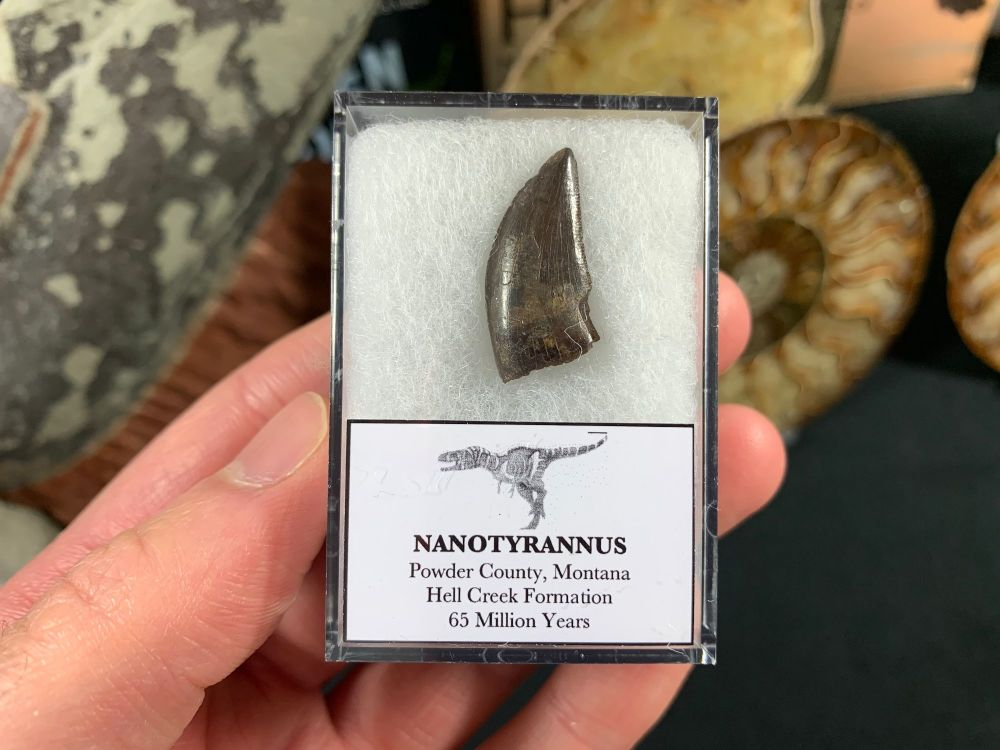 Nanotyrannus Tooth #54
