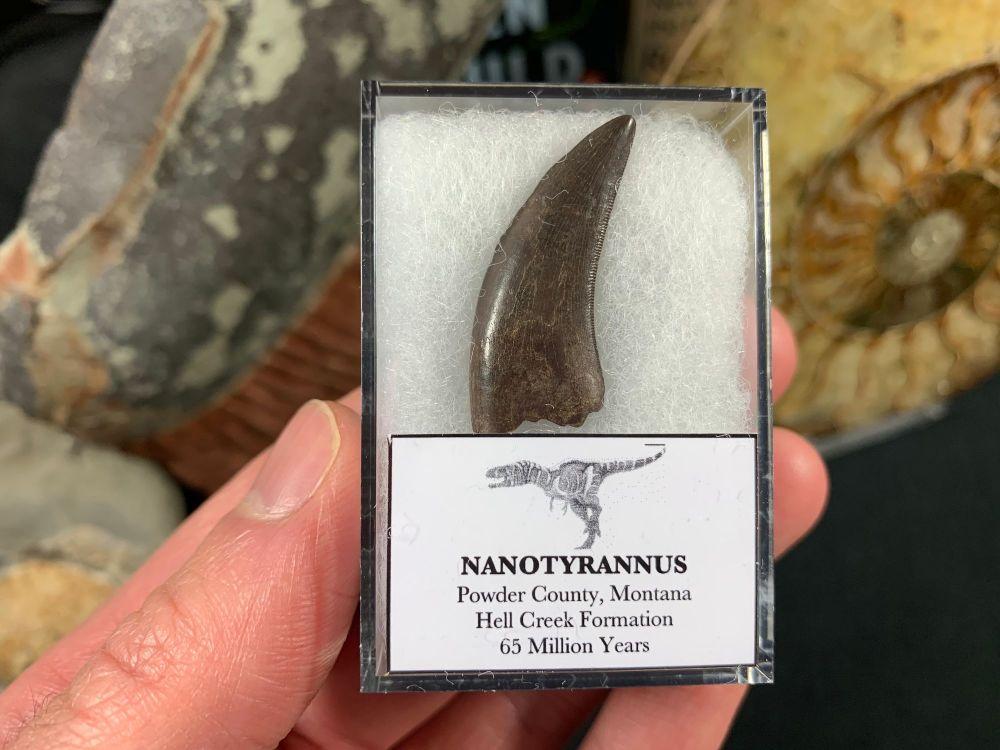 Nanotyrannus Tooth #56