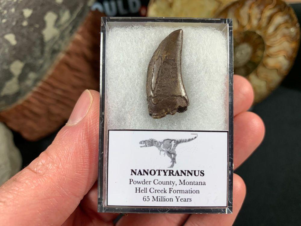 Nanotyrannus Tooth #57