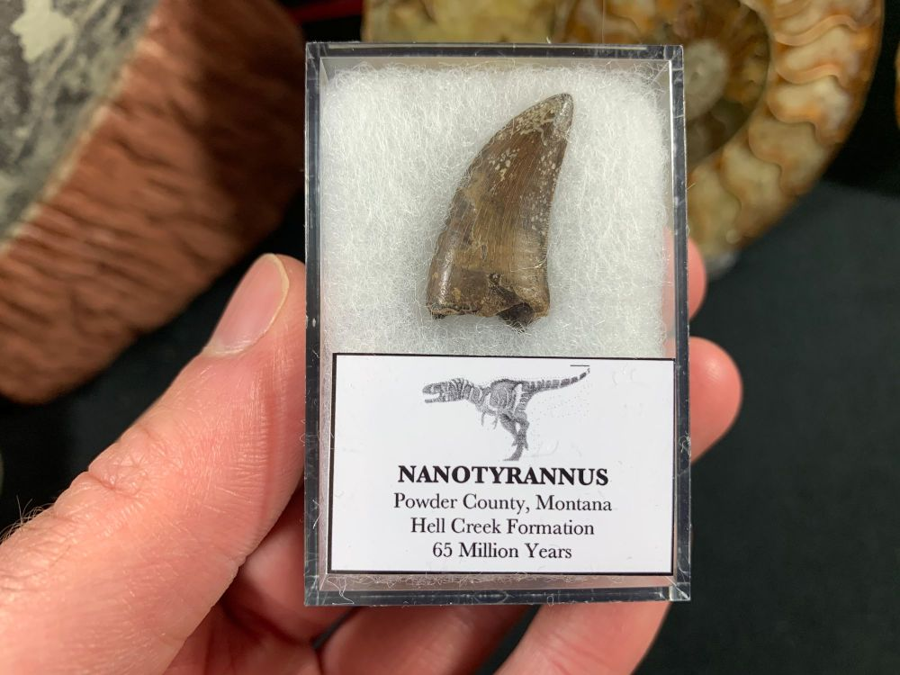 Nanotyrannus Tooth #58