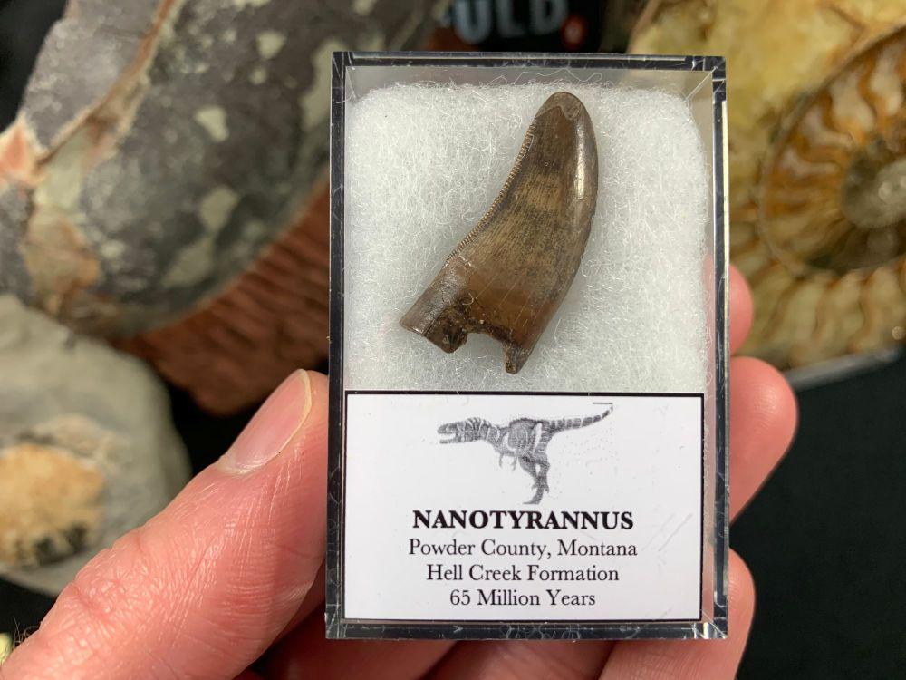 Nanotyrannus Tooth #59