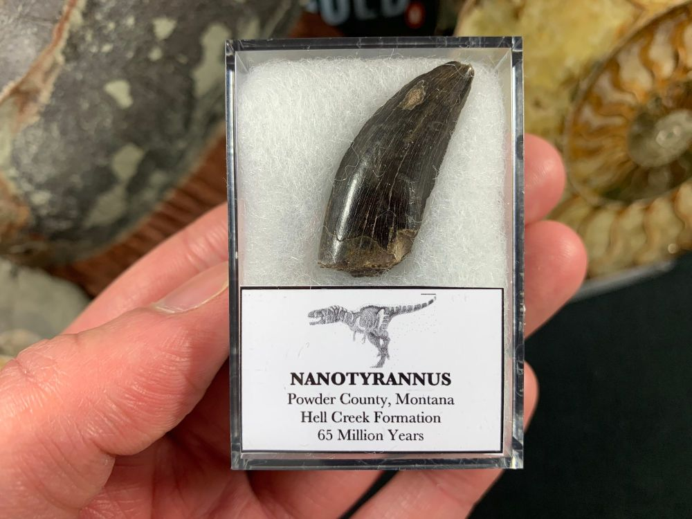 Nanotyrannus Tooth #61