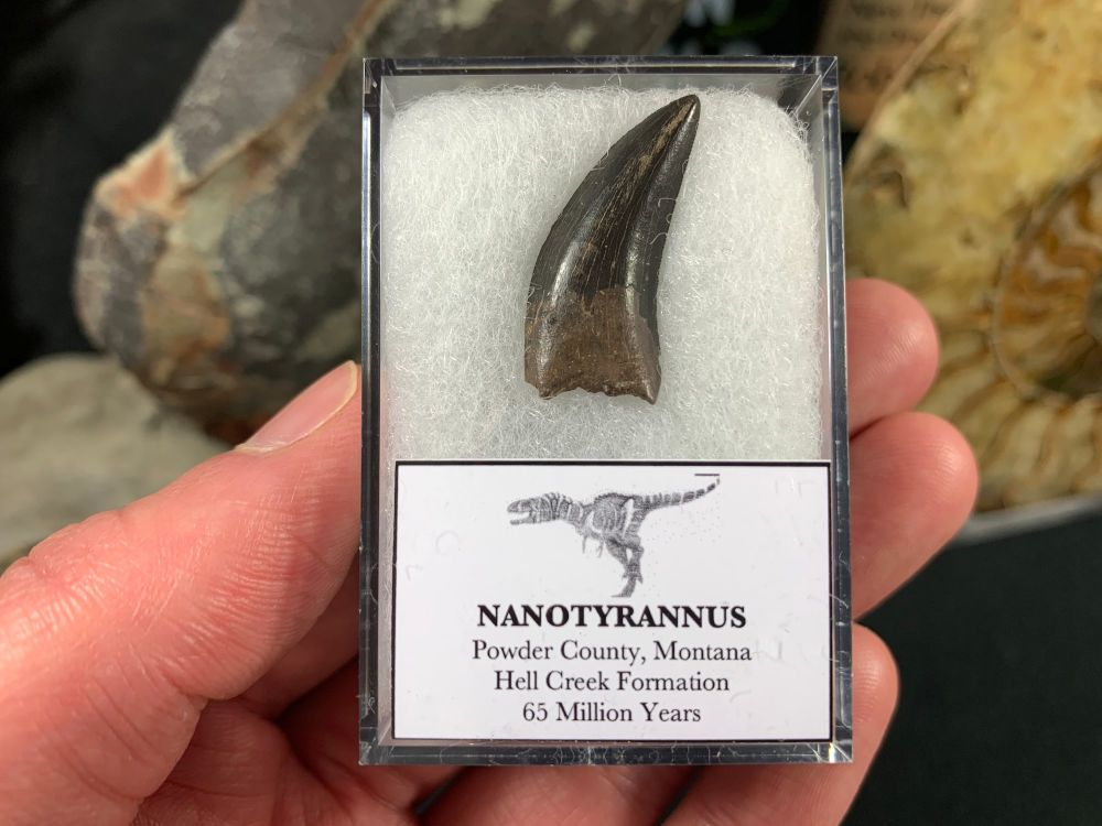 Nanotyrannus Tooth #62