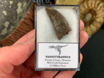 Nanotyrannus Tooth #64