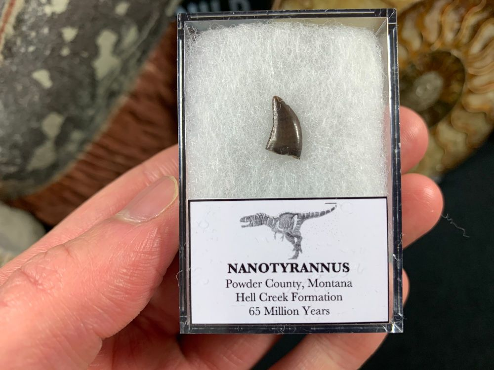 Nanotyrannus Tooth #65