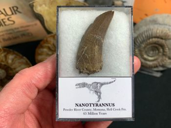 XL Nanotyrannus Tooth (1.75 inch) #66