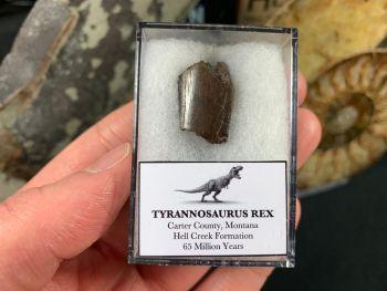 Tyrannosaurus Rex Tooth Chunk #01