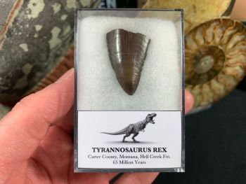 Tyrannosaurus Rex Tooth Tip #06