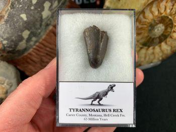Tyrannosaurus Rex Tooth Tip #07