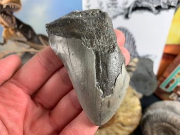 Megalodon Tooth - 3.13 inch #05