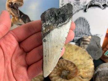 Megalodon Tooth - 4.13 inch #09