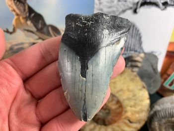 Megalodon Tooth - 3 inch #13
