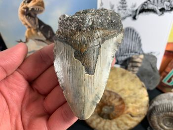 Megalodon Tooth - 3.88 inch #16