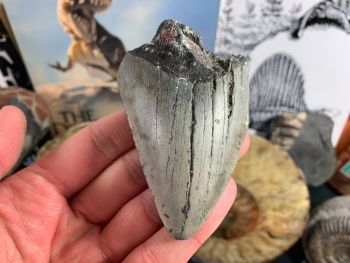 Megalodon Tooth - 3.38 inch #19