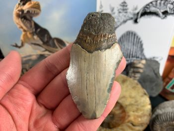 Megalodon Tooth - 3.25 inch #20