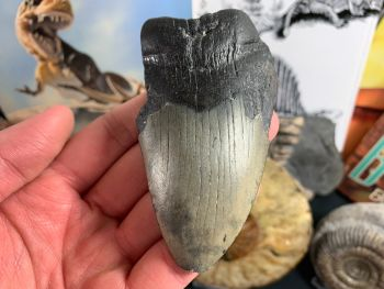 Megalodon Tooth - 3.63 inch #22