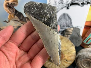 Megalodon Tooth - 4.88 inch #23
