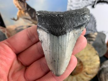 Megalodon Tooth - 3 inch #29