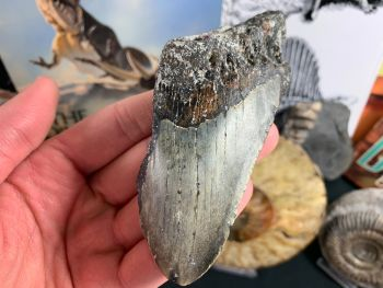 Megalodon Tooth - 4.56 inch #30