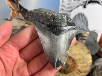 Megalodon Tooth - 3.44 inch #31